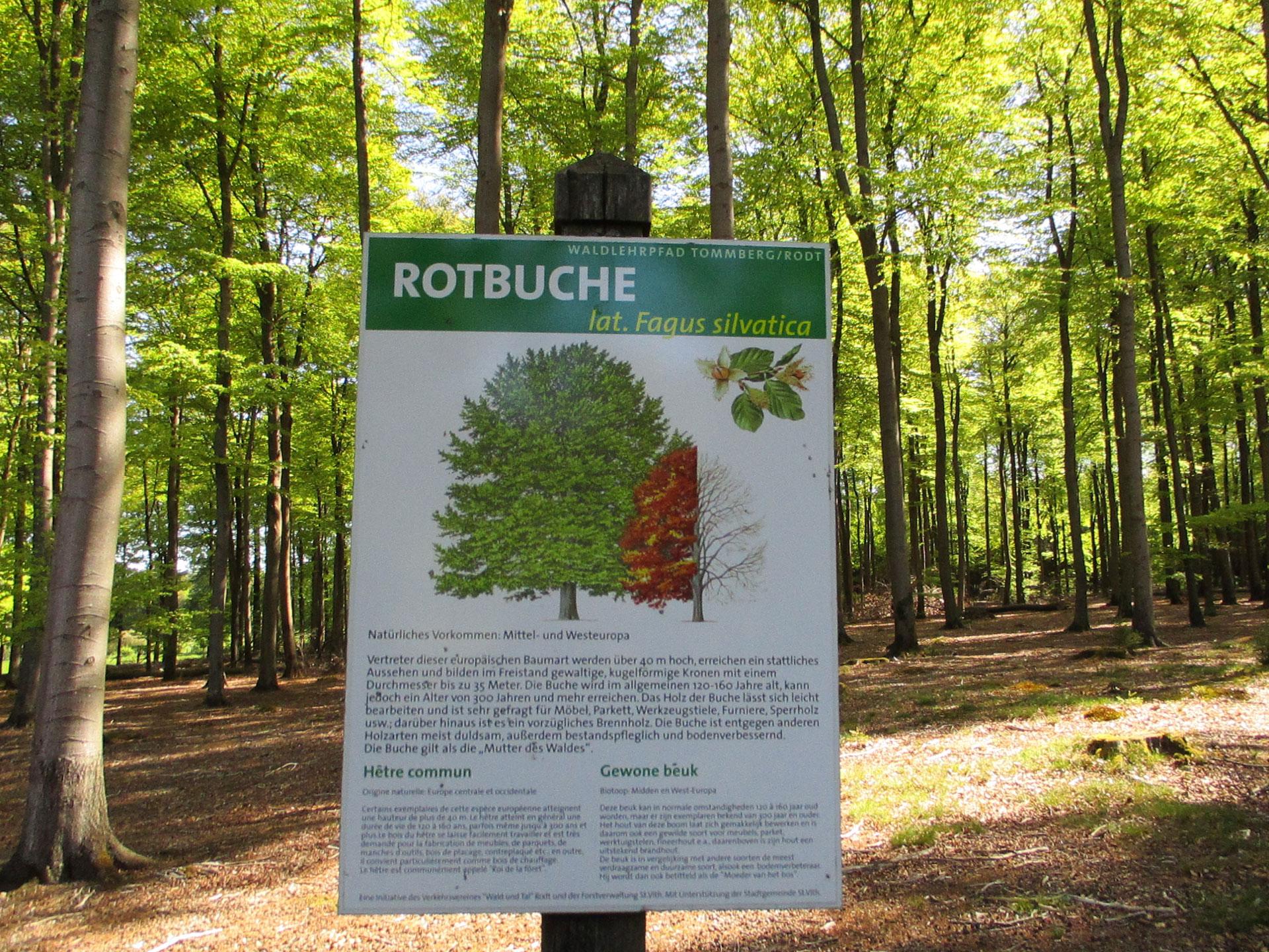 Arboretum de Sankt Vith - Hêtre commun - arbres - arbustes - sentier didactique - Saint-Vith