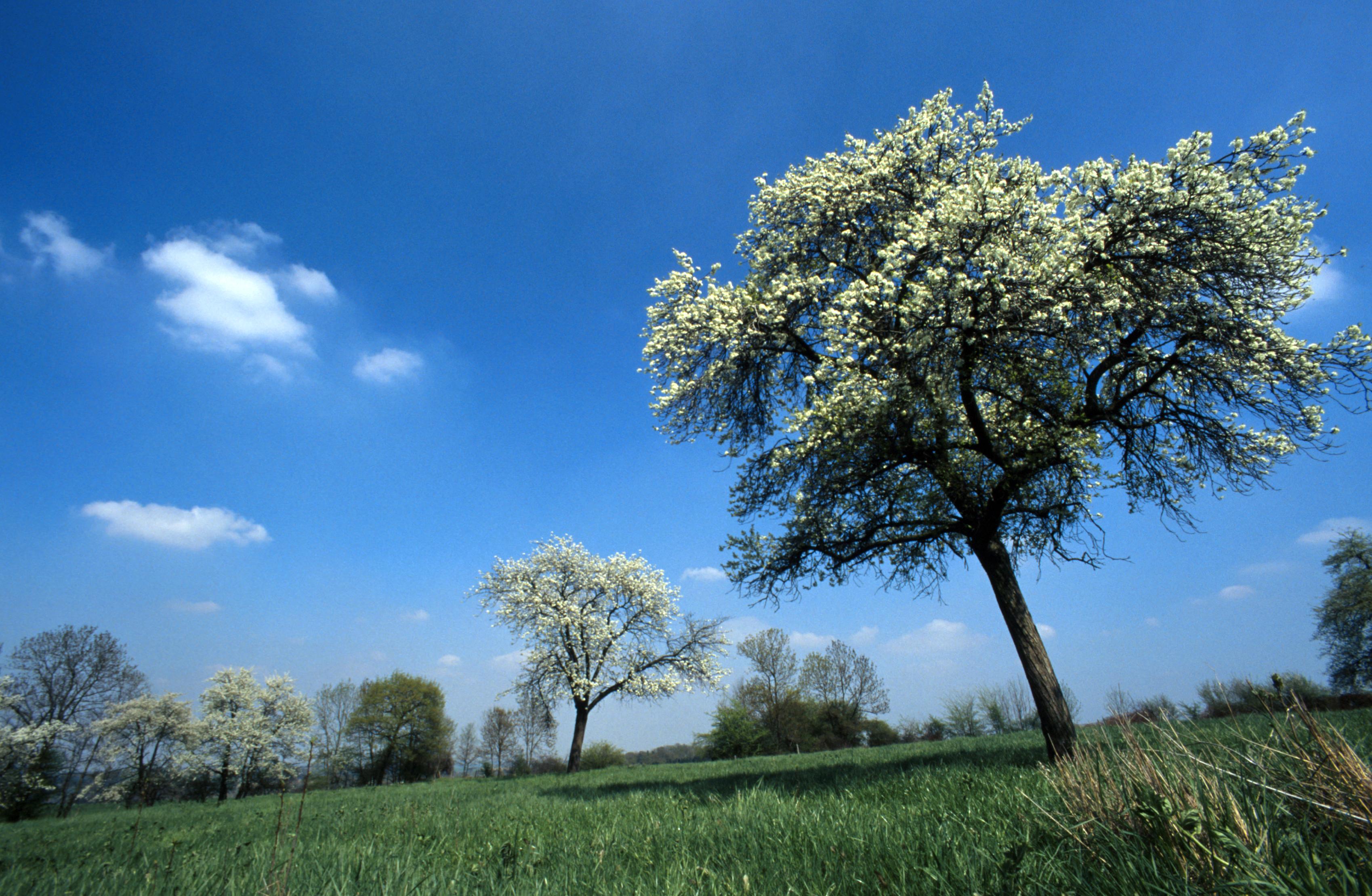 Paysage - Pays de Herve - ciel bleu - arbre - prairie
