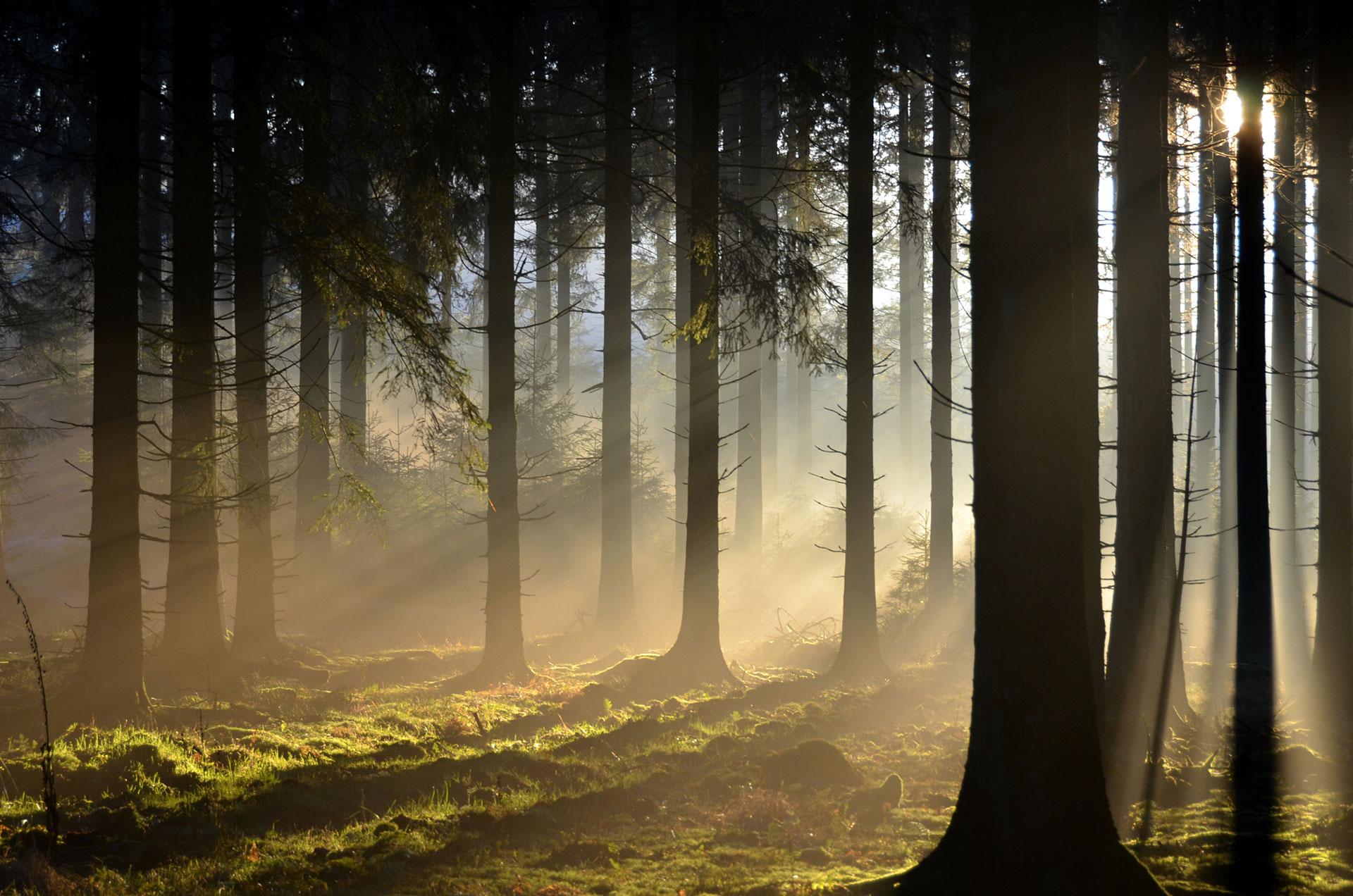 Les arbres de la forêt d'Anlier sous la brume