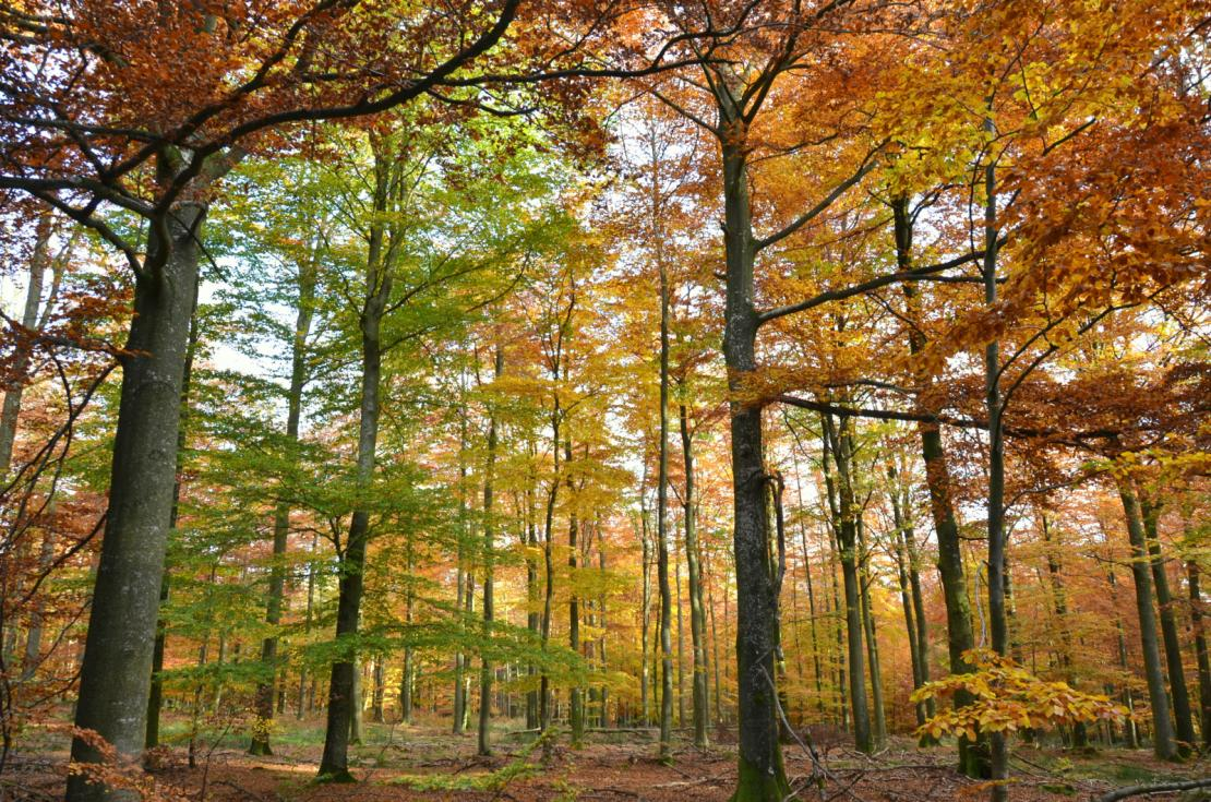 La forêt de Tenneville dans des couleurs automnales