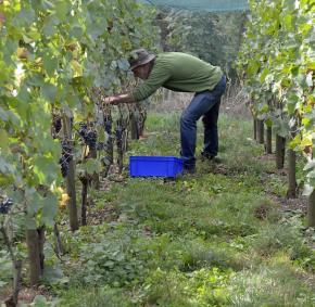 Vignoble - Septem Triones - Vin - bio - belge - Chaudfontaine