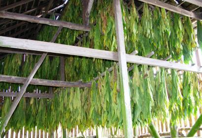 Récolte du tabac - Vresse-sur-Semois