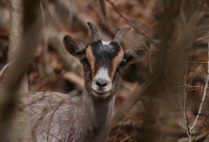 La Heid des Gattes - Chèvre - Faune Wallonie