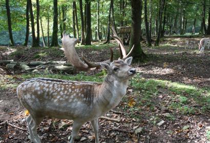 Parc - gibier - La Roche-en-Ardenne - cerf - daim