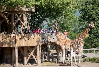 Vom Turm bei den Giraffen in Pairi Daiza, helfen Sie den Pflegern beim Füttern