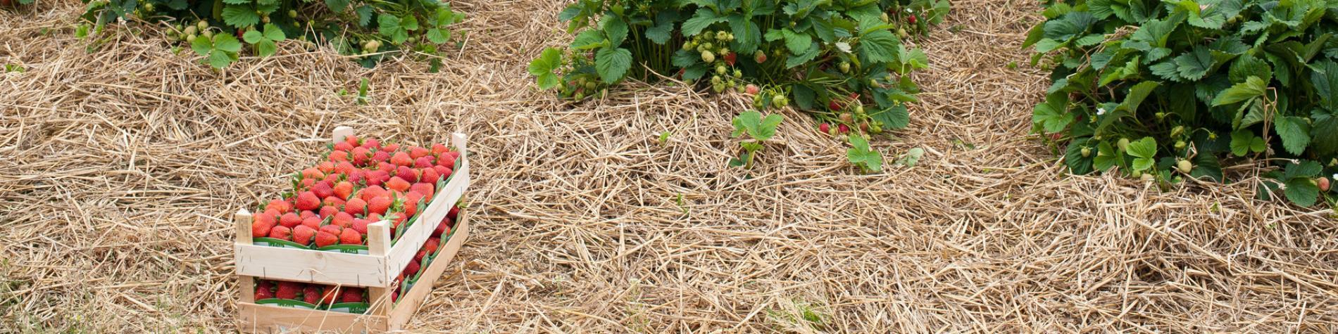 Découvrez les fraises de Wépion, dans la province de Namur
