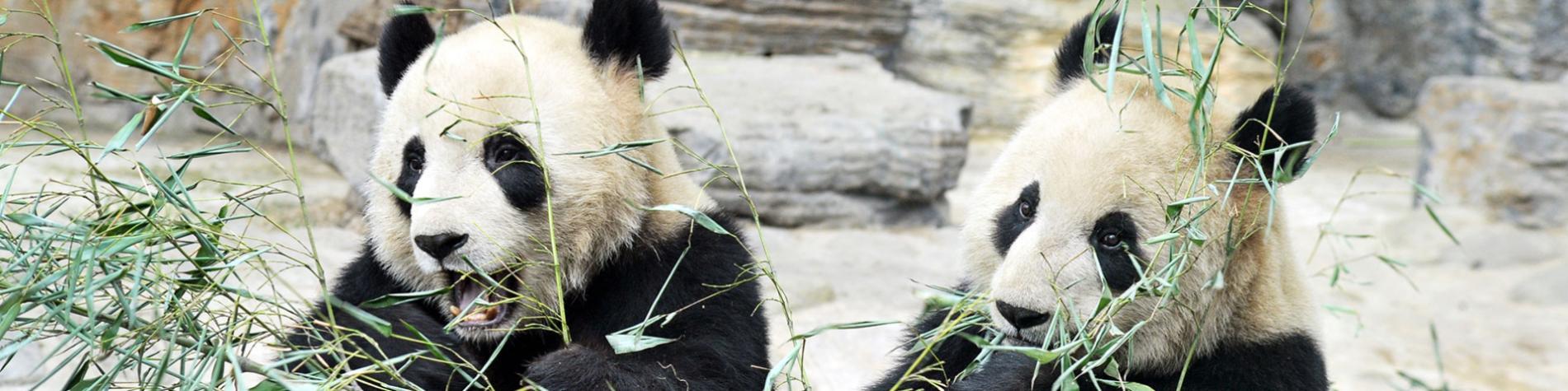 Parcs animaliers - animaux - Pandas