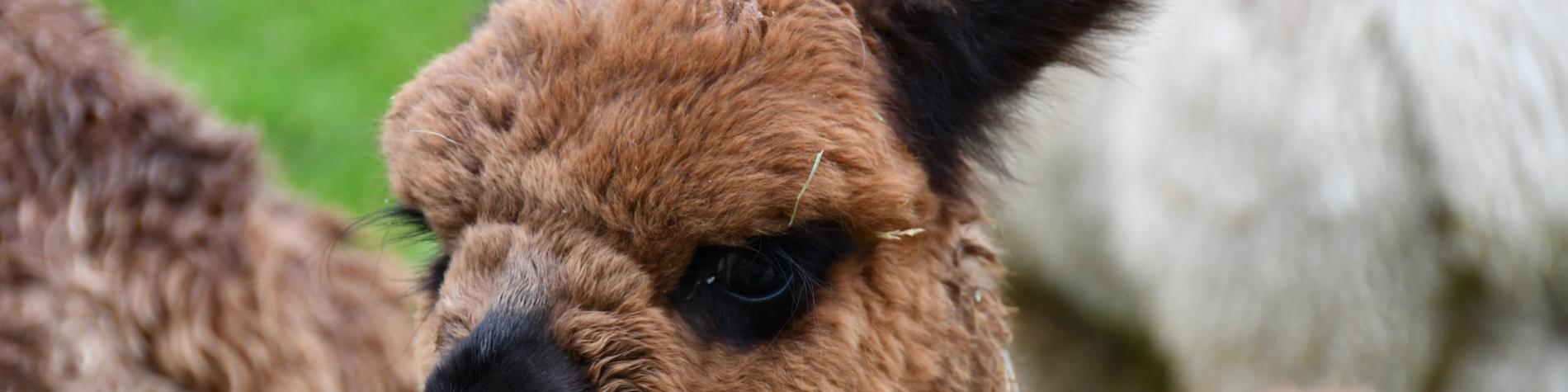 Alpagas du Maquis - Montleban
