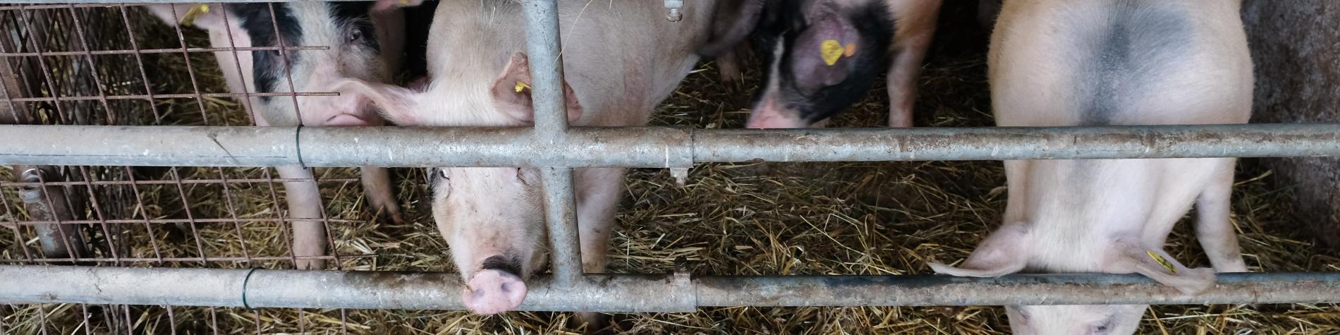 Biofarm - La Ferme des Frênes - Cens - Vue de l'étable aux cochons