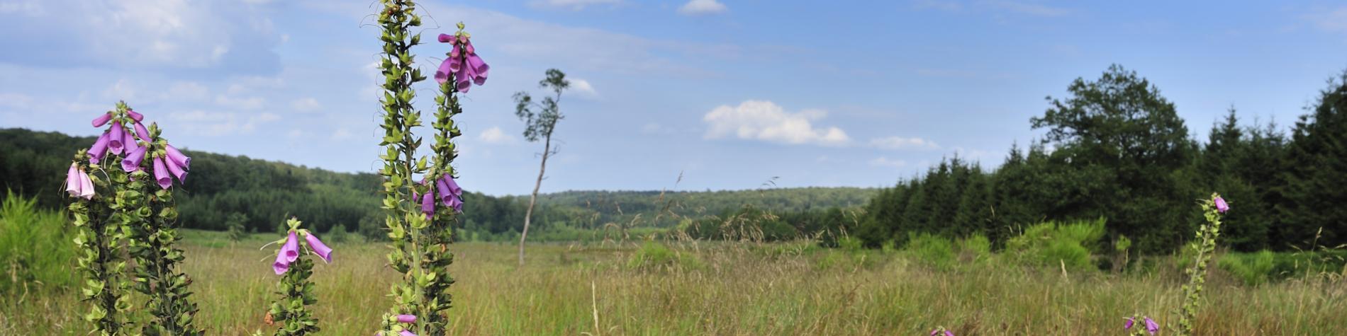 Fagne de la Basseille - Forêt de Saint-Hubert