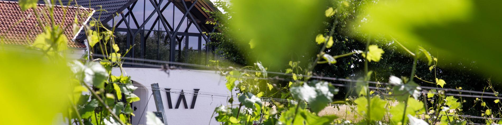 Vue du Chai à travers les feuilles de vignes