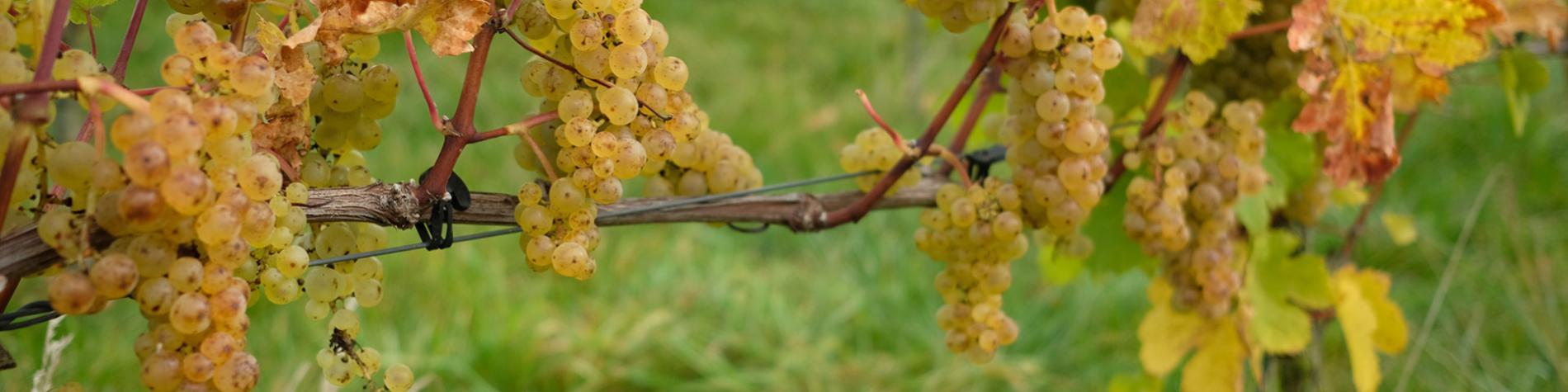 Vin - Liège - Domaine - viticole - liégeois