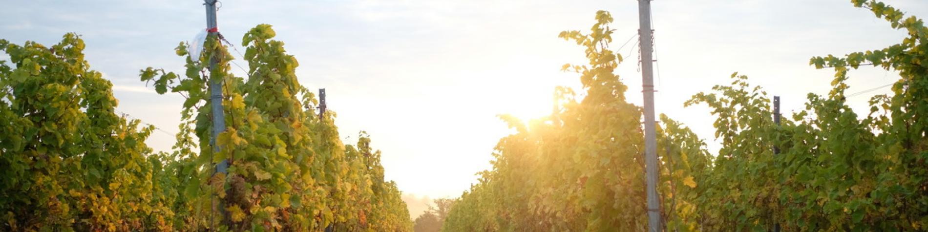Liege Wine - Discover Belgium - Vins wallons